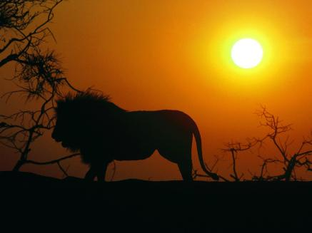about_Us_hd-lion-wallpaper-10