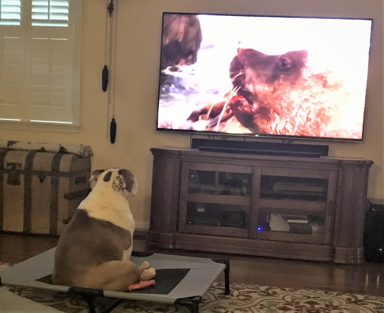 Teddy - watching TV